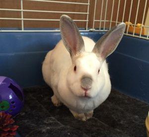 Houdini the rabbit